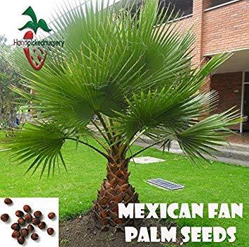 Potseed Samen Keimung: 10 Mexican Fan Palm Samen, (WASHINGTONIA ROBUSTA) von Hand gepflückt Nursery