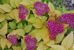 Plant World Seeds - Spirea 'Garnet 'n' Gold' Seeds