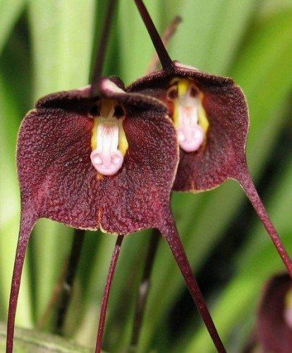 Purple monkey face Orchid - Orquídea cara de mono púrpura - 20 semillas