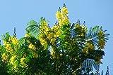 Schizolobium parahyba, Gelbe Jacaranda, Brasilianischer Farnbaum, sehr selten !!