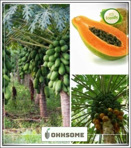 Semi pinkdose frutta papaya indian beauty produrre fortemente frutta semi di frutta per agricoltura bonsai seeds adatto frutta giardino pack seed