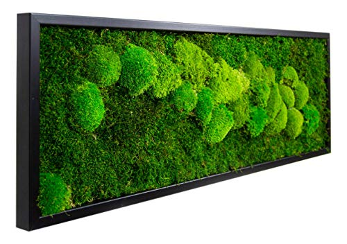 Moosbilder Wandgestaltung, Bild mit Moos und Bilderrahmen, Moosbild, Mooswand, Wandbild, Kugelmoos Moosplatte Pflanzenbilder Moosbilder versch. Maße günstig (100 x 35 cm, schwarz)
