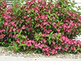 Portal Cool Weigelie Bristol Ruby-Tief Pink Flower Hardy Garten Border Strauch Pflanzen 9cm Bush