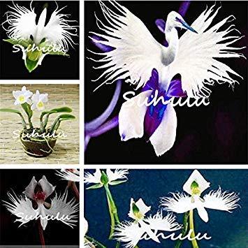 Vistaric 30pcs japonais graines d'orchidées tigre blanc et noir Radiata Egret graines d'orchidées dans le monde des espèces rares fleur pour la décoration de jardin à la maison 1