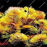 VISTARIC 1: 20 Stück Brunnen weinend Kirschbaum, DIY Hausgärten Zwerge Baum, Zierpflanze Bonsai Sakura-Baum-Samen für zu Hause 1