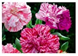 30x Nelke Picotee Fantasy mix - Dianthus Samen Garten Blumen KS26