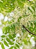 Palmenmann Neembaum - Azadirachta indica