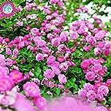 VISTARIC Acquistare Morus Alba Albero semi 100pcs piante foglio del gelso baco da seta per alimentare Sang Shu