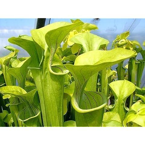 Sarracenia oreophila Giant - Sarracena, Planta de jarra Norteamericana, Plantas trompeta, Cuerno de caza - 5