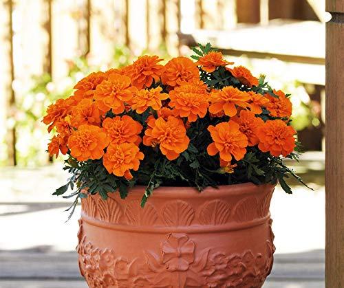 Bobby-Seeds Tagetessamen Bonanza Deep Orange, Studentenblume Portion