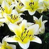 100 pc / sacchetto 24 colori semi del giglio, profumo a buon mercato gigli semi, raro colore dei fiori piante da giardino - mescolando diverse varietà Violet