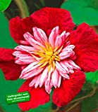 BALDUR-Garten Waldrebe Clematis 'Avant Garde TM' winterhart, 1 Pflanze Klematis mehrjährige blühende Kletterpflanzen