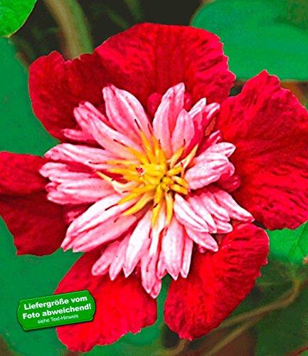 BALDUR-Garten Waldrebe Clematis 'Avant Garde TM', 1 Pflanze