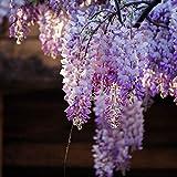 25pcs graines de fleurs de glycine Sinensis Alba Hanging Yard Home Plant