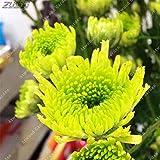 IDEA HIGH Seeds-ZLKING 100pcs Chinesischer Regenbogen Aster Bonsai Seltene Mehrjährige Mehrjährige Einfach Wachsen Callistephus Herrliche Chrysantheme Blumen: 16