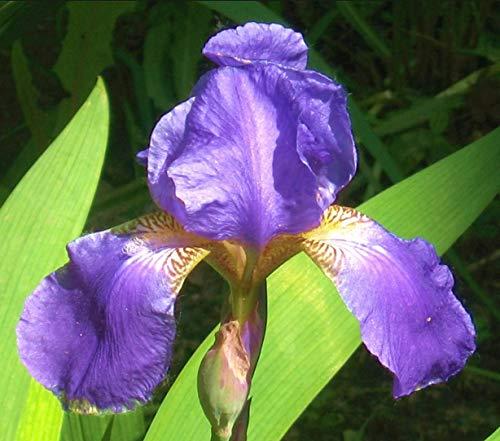 Generic Purple (3 nackten Wurzeln)