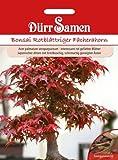 Dürr-Samen Bonsai Rotblättriger Fächerahorn (Acer palmatum atropurpureum)