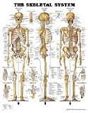 Anatomical Chart The Skeletal System