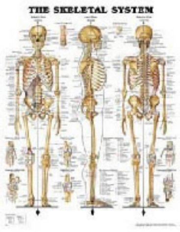 The Skeletal System par Anatomical Chart Company