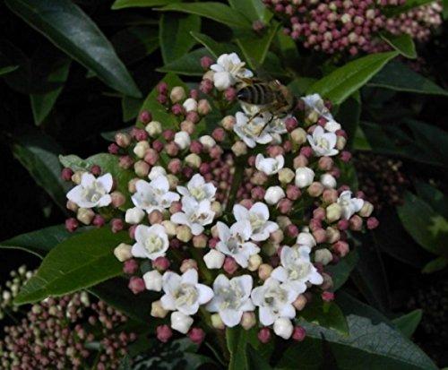 Viburnum tinus Eve Price - Lorbeerschneeball Eve Price - Mittelmeer-Schneeball - Lorbeerblättriger Schneeball -