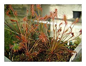 Drosera affinis - Sonnentau - 5 Samen