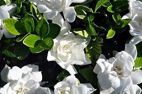 FERRY Bio-Saatgut Nicht nur Pflanzen: Hardy Summer Snow Gardenia Garten Innenhof Yard Sehr Fragrant -