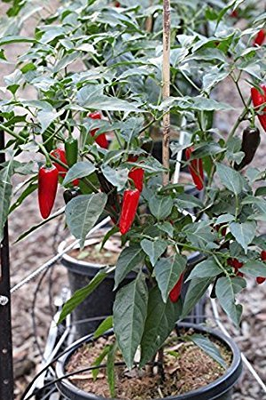 liveseeds-gemuse-chili-pepper-chilli-jalapeno-red-chilli-finest-x-15-semilla