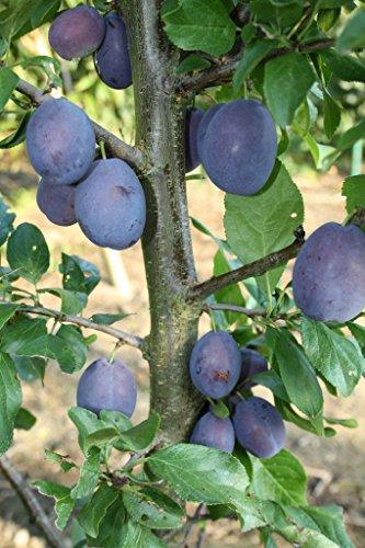 Pflaumenbaum, Jojo, Busch-Baum, Steinobst, Pflaume blau, 120 - 150 cm, im Kübel, mit Dünger, Prunus domestica, Obstbaum winterhart, EVRGREEN
