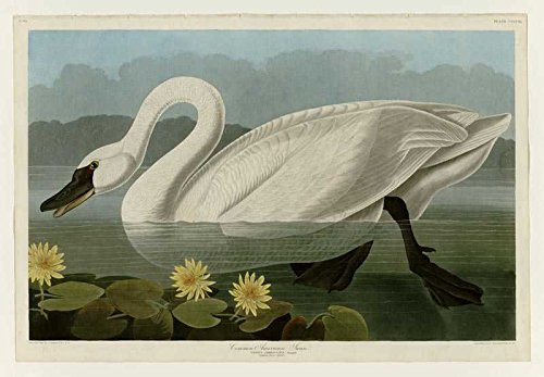 American Swan (Das Museum Outlet-Art Postkarte-Audubon (- Gemeinsame American Swan-Plate 411-Set von 12Postkarten)