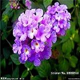 Fash Lady Lantana camara 20pcs World & # 39; s Rare Flowers For Garden home planting Flores Semillas: 0
