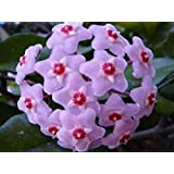Bloom Green Co. Nuevo bonsái verde fresco de Hoya, flores en maceta, plantas de flor de la planta de Hoya Carnosa Jardín case