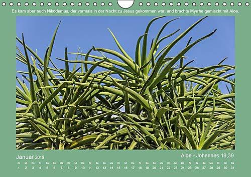 Pflanzen der Bibel (Wandkalender 2019 DIN A4 quer): Eine Auswahl in der Bibel erwähnter Pflanzen mit den passenden Bibelstellen. (Monatskalender, 14 Seiten ) (CALVENDO Glaube)