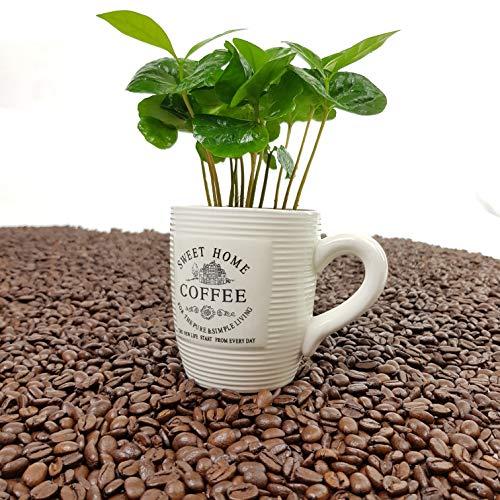 ✔️ Kaffee Pflanze mit Tasse ✔️ 1 Stück - A1 Qualität ✔️ MPS kontrolliert ✔️