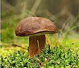 Boletus Badius-micelio-Hongos setas bosque-Crecer Su Propio.
