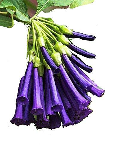 ZEARO 100 pièces Graines de Datura Graines de Fleurs parfumées Datura Seeds Graines de Fleurs de Jardin