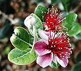 5 Samen - Ananas Guave, Feijoa sellowiana, Baum Samen (Edible, Auffälliges Evergreen)