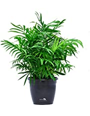 Nurturing Green Air purifying NASA recommended Chamaedorea