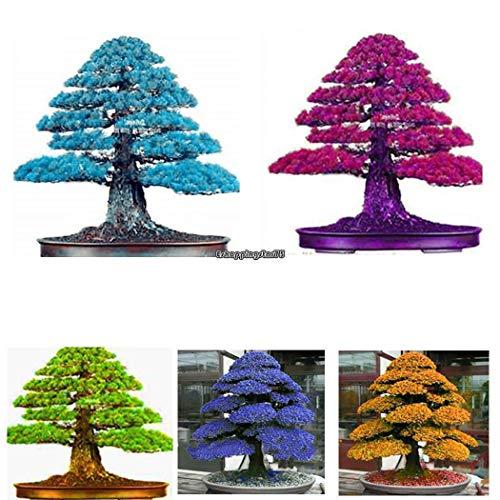 Plantree tipo 12: semi di cedro giapponese perenne semi di bonsai semi di piante da esterno eh7e
