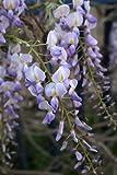 Seedeo Blauregen (Wisteria sinensis) 8 Samen
