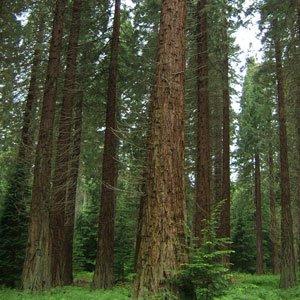 Sequoiadendron giganteum (Mammoth Tree) seeds