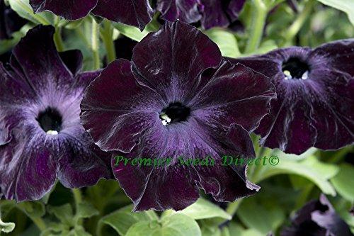 premier-seeds-direct-pet17f-petunia-sophistica-f1-blackberry-pellets-pack-of-20
