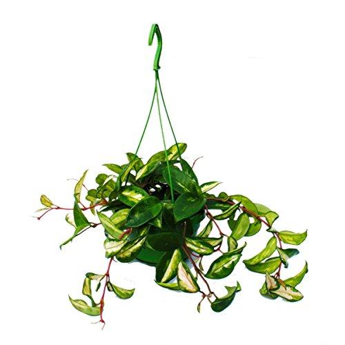 Zimmerpflanze zum Hängen - Hoya carnosa rubra - Porzellanblume - Wachsblume 14cm Ampel