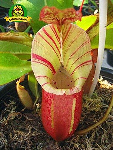Manger moustiques Plantes carnivores Graines Nepenthes 200pcs / sac Pitcher Tropical Plante Catch insectes Jardin Bonsai pot Easy Grow 1