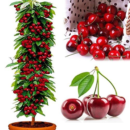 ?Kirschsamen, KimcHisxXv 20 St¨¹cke Samen S¨¹?e Bio Non-GMO Essbare Obst Zwerg Bonsai Garten Decor - 20 st¨¹cke Kirschsamen
