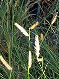 Staudenkulturen Wauschkuhn Bouteloua gracilis - Moskitogras - Gras im 9cm Topf