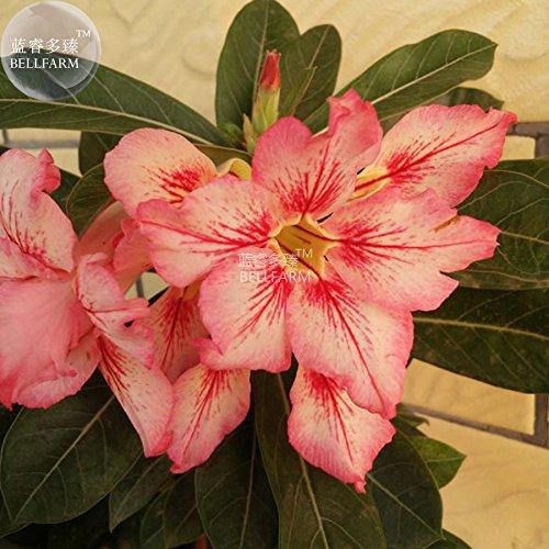 Casavidas BELLFARM Bonsai Adenium Peach Red Petals Red Stripe Blume kompakten Blumen Bonsai Desert Rose Hoch Germination -2pcs / pack