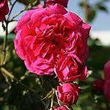 Kletterrose Kordes Laguna. kräftig pink. 1 Stck im Plant-o-fix-Topf - zu dem Artikel bekommen Sie gratis ein Paar Handschuhe für die Gartenarbeit dazu