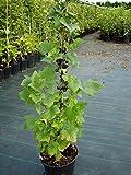 Titania (S), schwarze Johannisbeere in Säulenform, Säule, ca. 80-100 cm, Pflanze im 3 Liter Topf