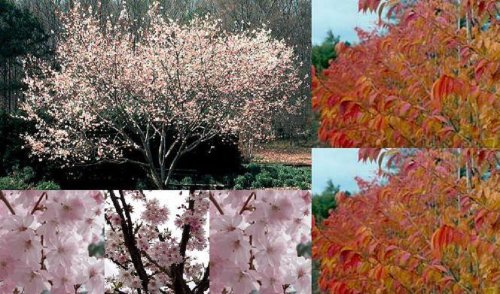 1x-6ft-prunus-autumnalis-rosea-tree-autumn-winter-flowering-cherry-75l