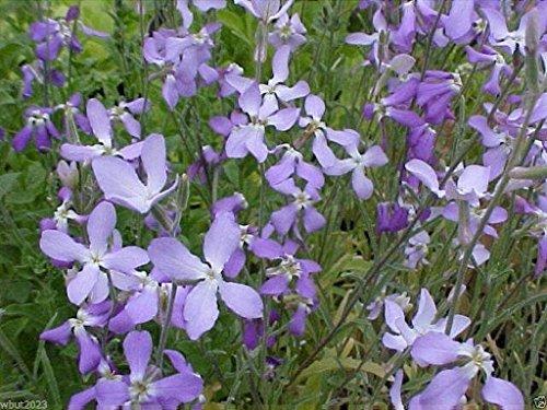 CUSHY Abend Scented Aktien 9000 Seeds (Matthiola longipeta) Parfüm Pflanze, Kälte Hardy